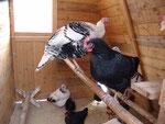Winter - da bleiben unsere verwöhnten Hühner und Truthähne doch lieber im Stall...