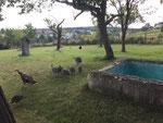 Die Truthähne mit den zwei Küken und die Perlhühner weiden im Marillenhain neben dem alten Schwimmbad.