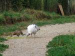 Die Fasane bekommen schon langsam das Federkleid und rennen überall am und um den Hof herum.