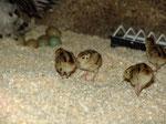 Mai 2014: von 45 Eiern sind immerhin 7 Küken geschlüpft