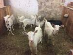 April 2018: 5 Kitze, 3 Mütter warten im Stall auf den Frühling