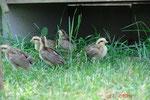 Junge Phönix Hühner entdecken das Gehege