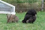 August 2016: ein Kaninchen hat sich bei uns im Garten eingenistet und isst gerne bei den Hühnern mit.