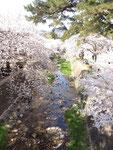 夙川と桜4