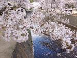 夙川と桜1