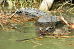 Saltwater crocodile - East Alligator River, Northern Territory - Australia
