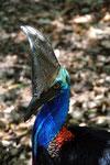 Cassowary -  Casuario, Queensland - Australia