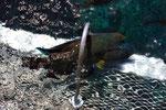 Pesce Napoleone, Queensland - Australia