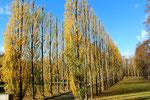Parallele Reihen von Pappeln mit Herbstlaub im Sowjetischen Ehrenmal Treptow. Foto: Helga Karl