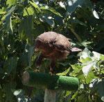 Adler aus dem Schloss Valmy