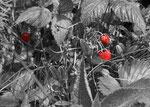 Wilde Erdbeeren fotografiert auf der Nordkette
