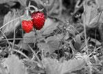 Wilde Erdbeeren fotografiert auf dem Blaser