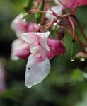 Japanisches Springkraut fotografiert am Patscherkofel