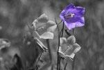 Glockenblume fotografiert Kühtai im Sellraintal