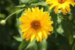 Gartensonnenauge fotografiert auf der Hungerburg