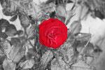 rote Rose fotografiert am Rauschbrunnen