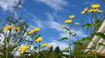 Topinambur in der Blüte