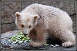 Anori  die Schwester von dem Berliner Eisbären Knut