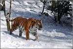 Tiger im Schnee im Zoo Wuppertal