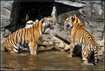 Tiger beim Streiten im Zoo Wuppertal