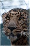 Persischerleopard