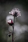 Bettina Schmidt - Regenblume