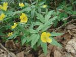 Gelbe Anemone (Anemona ranunculoides)  Kleine Heide 21.04.2007