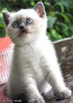 фото британских котят окраса блю-пойнт