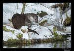 © Objectif Loutres - Stéphane Raimond - La loutre d'Europe sentant le passage d'une autre loutre