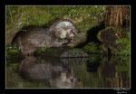 © Objectif Loutres - Stéphane Raimond - La loutre d'Europe mangeant une truite