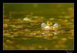 © Objectif Loutre - Stéphane Raimond -grenouille verte