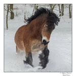 © Objectif Loutres - Stéphane Raimond - cheval ardennais