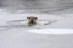 © Objectif Loutres - Stéphane Raimond - La loutre d'Europe cassant la glace pour respirer