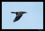 Objectif Loutre - Stéphane Raimond -Grand corbeau