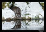 © Objectif Loutres - Stéphane Raimond - Loutre d'Europe et son reflet