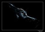 © Objectif Loutres - Stéphane Raimond - Baikal, chien groenlandais, clair obscur