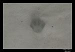 Objectif Loutres - Stéphane Raimond -empreinte chat forestier