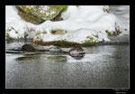 © Objectif Loutres - Stéphane Raimond - La loutre d'Europe nageant dans un étang gelé
