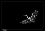 © Objectif Loutre - Stéphane Raimond -Aigrette en clair obscur