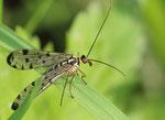 Mouche scorpion Panorpa communis
