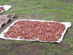 Kakao wird in der Sonne getrocknet