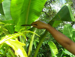 Banana-leaves are used to cook and to wrap food