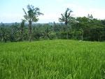 Reisfeld - von Bali träumt man grün