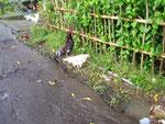 Hühner auf der Flucht vor der Kamera