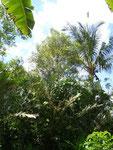 in der Bildmitte ein Gewürznelkenbaum