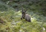 Stambecco delle Alpi (Capra ibex)