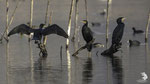 Cormorano (Phalacrocorax carbo)