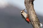 Picchio rosso maggiore (Dendrocopos major)