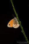 Pamfila (Coenonympha pamphilus)