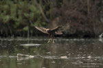 Qui dopo aver mangiato il falco probabilmente cercava di posarsi sul sasso per bere oppure pulirsi